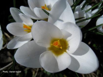 Flore de montagne : crocus.