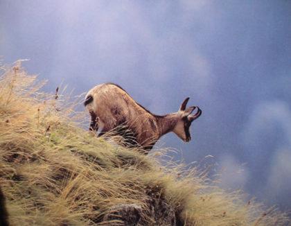 Faune de montagne : le chamois.