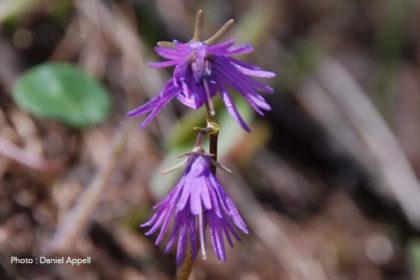 Flore de montagne : soldanelle.