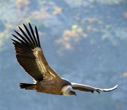 Faune de montagne : vautour fauve.